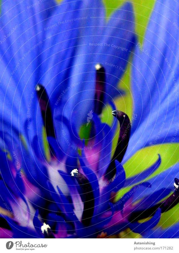 ..im Zentrum der Kornblume Umwelt Natur Sommer Pflanze Blume Blüte schön blau grün schwarz Getreide Wachstum Blühend Farbfoto Außenaufnahme Detailaufnahme