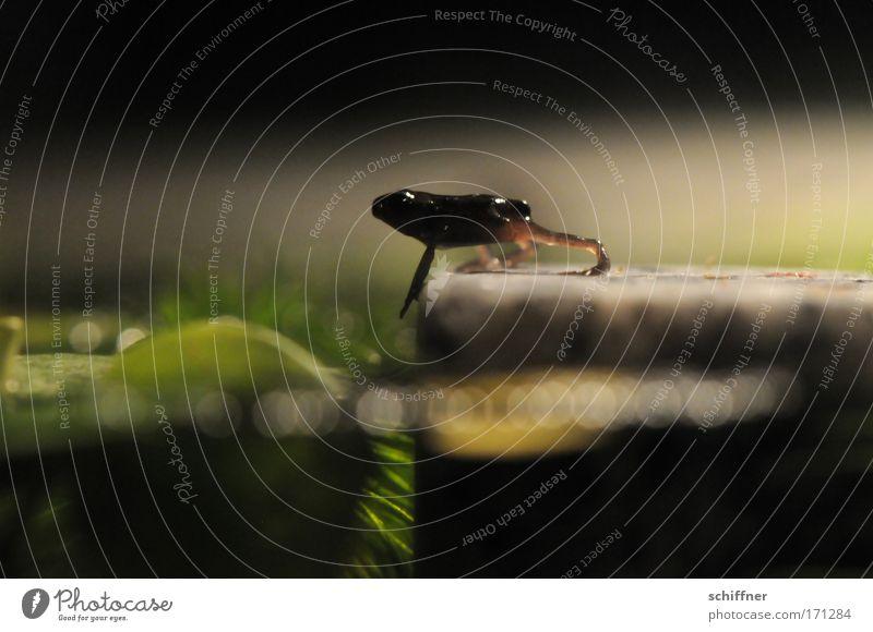 Ein großer Schritt für die Froschheit I Makroaufnahme Froschperspektive Umwelt Natur Wasser Teich See gehen krabbeln Pferdegangart Mut watscheln Kröte Molch