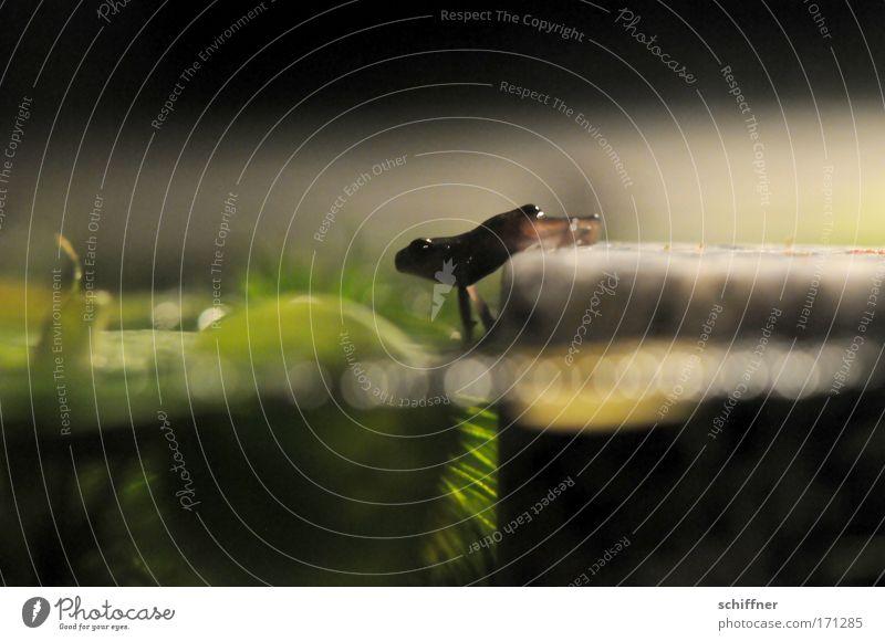 Ein großer Schritt für die Froschheit II Makroaufnahme Froschperspektive Umwelt Natur Wasser Teich See gehen krabbeln Pferdegangart Mut watscheln Kröte Molch