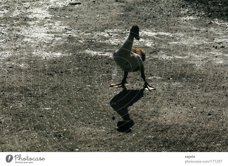unentschlossen Tier Nutztier Ente Vogel 1 stehen warten dunkel natürlich niedlich braun grau achtsam Wachsamkeit Angst Nervosität watscheln Indonesien Wärme