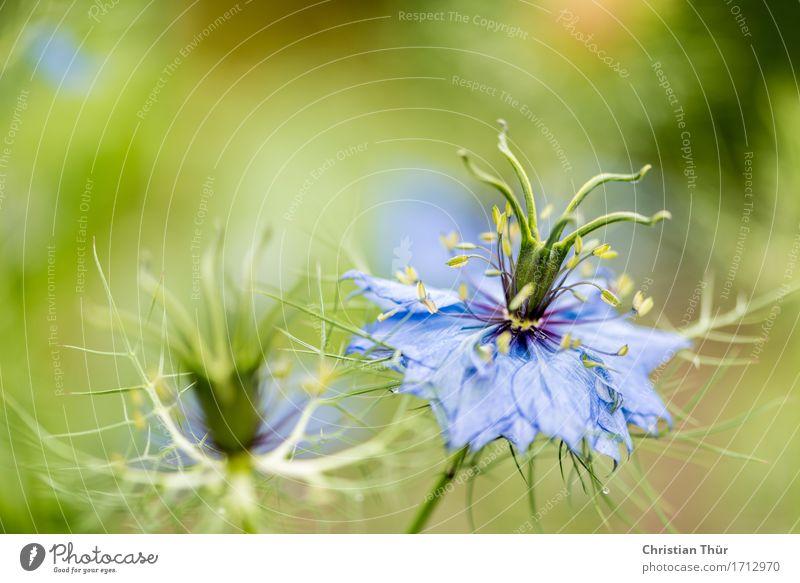 Nigella damascena Leben harmonisch Wohlgefühl Zufriedenheit Sinnesorgane Erholung ruhig Meditation Freizeit & Hobby Umwelt Natur Sommer Schönes Wetter Pflanze