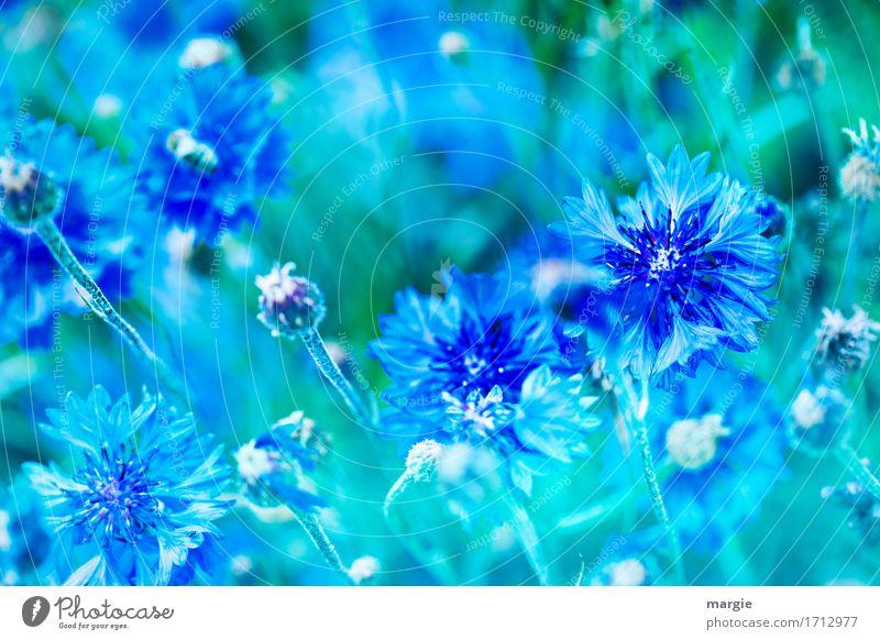 Kornblumen blau Pflanze Sommer Blume Blüte Grünpflanze Garten Park grün Blühend Beet Querformat Farbenspiel Blütenknospen Blatt Blütenstauden Feld Farbfoto