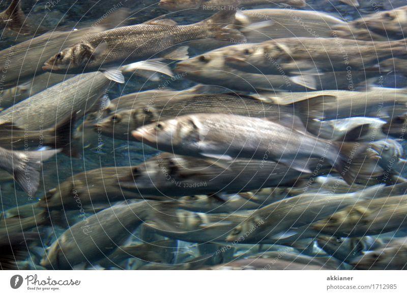 """Frischer Fisch Tier Wildtier Aquarium """"Fisch Fische Tiere Tierreich Tierwelt Lebewesen animal animals animal kingdom natur fauna Wasser Gruppe Hering Heringe,"""""""