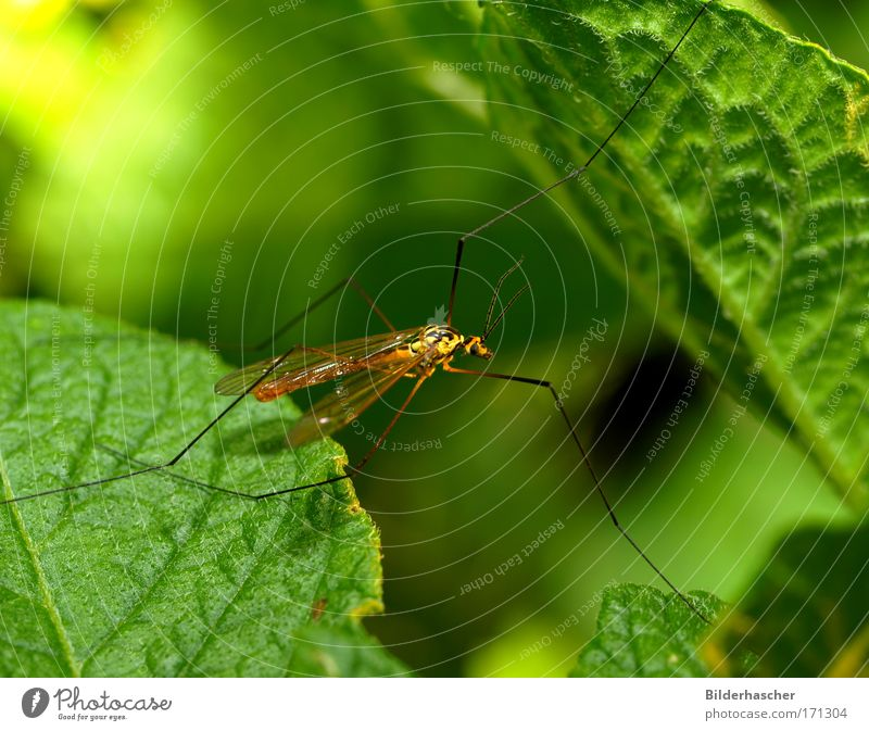 Schnakenhans Insekt Stechmücke Stelzmücke Zweiflügler Fühler Antenne Auge Facettenauge Flügel Beine lang Makroaufnahme Nahaufnahme grün Sommer sonnen Blatt