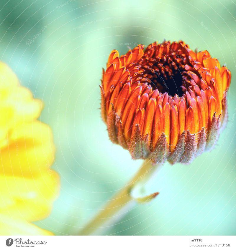 Ringelblume Natur Pflanze Sommer Schönes Wetter Blume Blüte Nutzpflanze Garten Park Wiese schön braun grau orange rot schwarz türkis Calendular Kosmetik