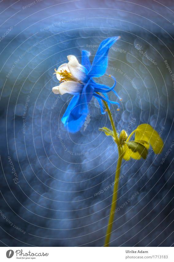 Blaue Königin Natur Pflanze Wassertropfen Frühling Sommer Blume Sträucher Blatt Blüte Topfpflanze Akelei Garten Park Dekoration & Verzierung Sammlerstück