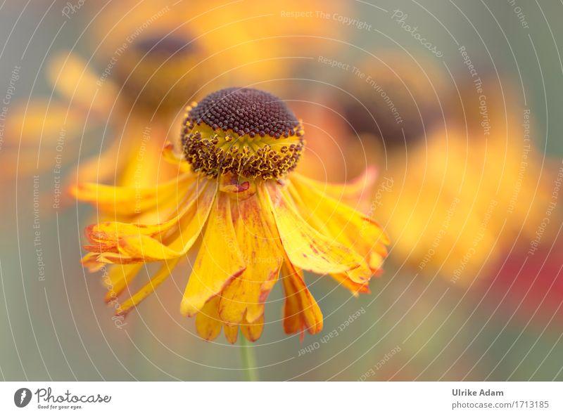 Sommerstaude - Gelbe Sonnenbraut elegant Design Zufriedenheit ruhig Wohnung Haus Garten einrichten Innenarchitektur Dekoration & Verzierung Tapete Bild Poster