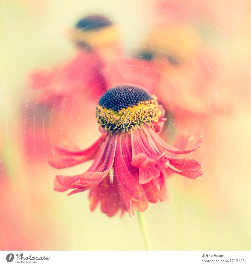 Sonnenbraut / Helenium Natur Pflanze Sommer Blume rot Wärme gelb Blüte Innenarchitektur Garten träumen Park frisch Dekoration & Verzierung Sträucher Blühend