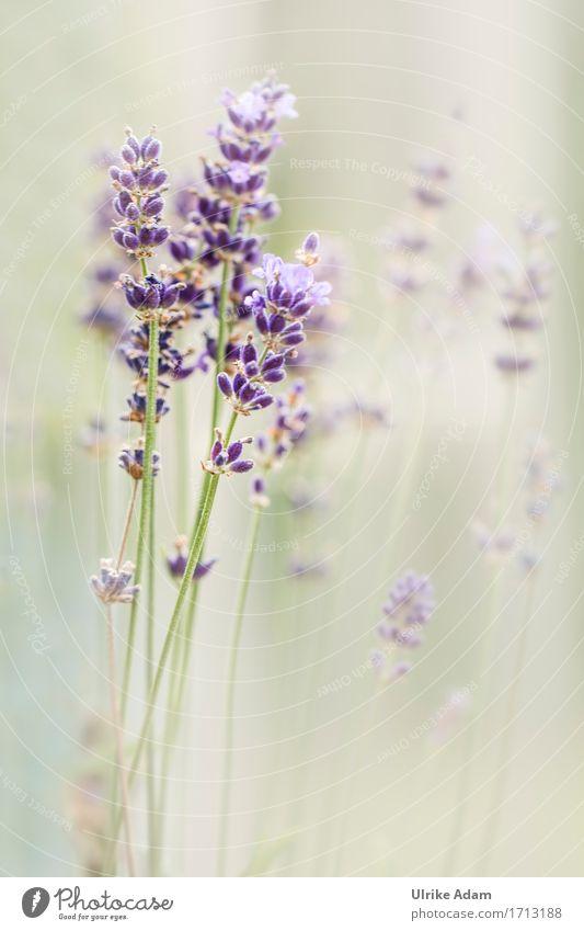 Lavendel ( Lavandula ) Natur Pflanze blau Sommer grün Blume Wärme Blüte Innenarchitektur Garten Design Park Dekoration & Verzierung elegant Blühend Schönes Wetter