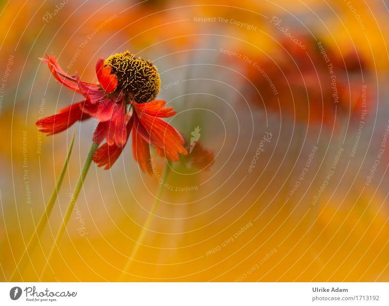 Rote Sonnenbraut Natur Pflanze Sommer Blume Topfpflanze Beet Blütenstauden winterfest mehrfarbig Helenium Garten Park Blühend frisch schön Wärme wild weich gelb