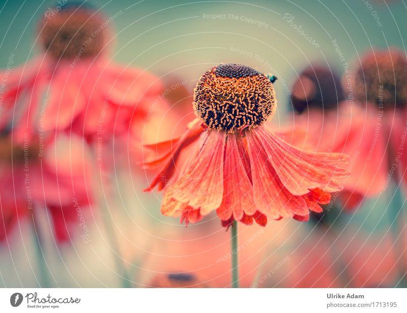Sommer - Tanz Umwelt Natur Pflanze Schönes Wetter Blume Blüte Sonnenbraut Stauden winterfest Beet Garten Park Dekoration & Verzierung Blumenstrauß Bild Poster