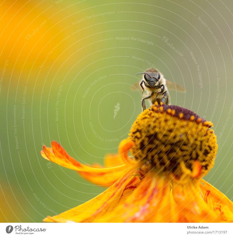 Hallo! Natur Tier Sommer Herbst Schönes Wetter Pflanze Blume Blüte Sonnenbraut Beet Garten Park Wildtier Biene Insekt 1 Arbeit & Erwerbstätigkeit beobachten