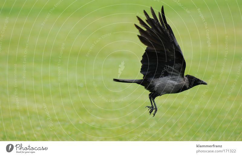 Krähe fliegt los Tierporträt Erde Luft Gras Vogel Bewegung fliegen Jagd Ferien & Urlaub & Reisen muskulös stark Freude ästhetisch Energiewirtschaft Kraft Ferne