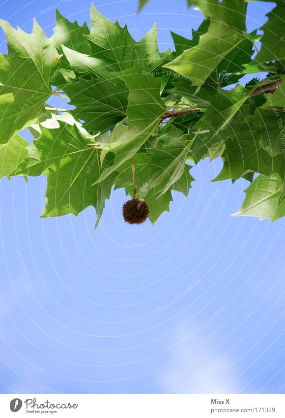 ein Bommel Himmel Natur Baum Pflanze Sommer Blatt Umwelt Frühling Blüte Park Wachstum Schönes Wetter Blütenknospen stachelig Quaste