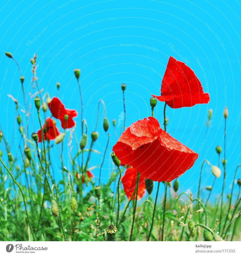 poppy Farbfoto mehrfarbig Detailaufnahme Tag Umwelt Natur Landschaft Pflanze Luft Wassertropfen Himmel Klima Klimawandel Wetter Schönes Wetter Blume Gras