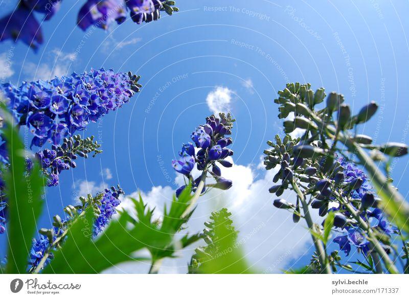 hoch hinaus Umwelt Natur Pflanze Himmel Wolken Sommer Schönes Wetter Blume Blüte Wachstum Duft schön blau grün violett weiß emporragend Höhe Blühend Rittersporn