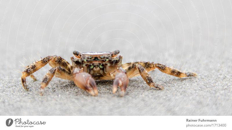 Strandkrabbe Natur Tier Küste außergewöhnlich Sand beobachten gruselig krabbeln