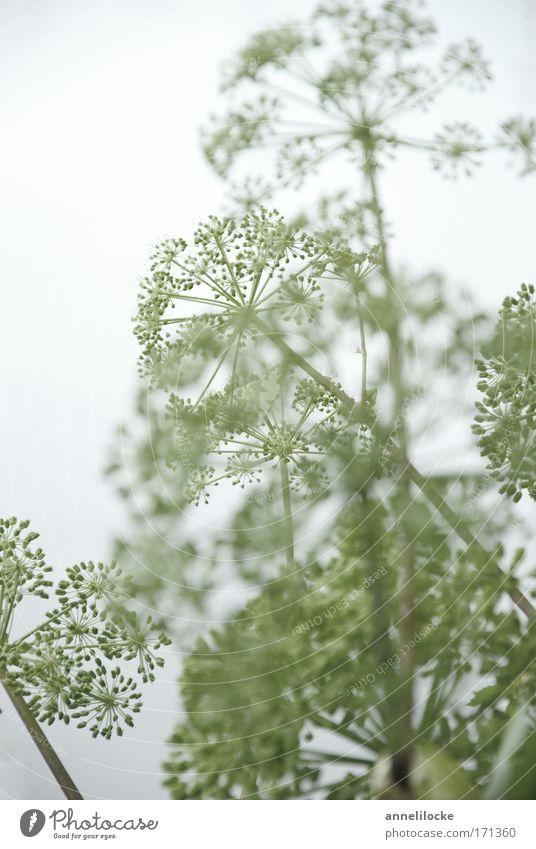 luftig zart Natur weiß grün schön Pflanze Sommer Umwelt Wiese kalt grau Blüte hell Park natürlich elegant frisch