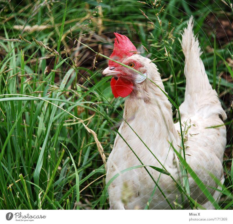 schau mich nicht so an...ich bin zäh Natur Tier Gras Garten Vogel Sträucher Flügel Feder Neugier Zoo Bioprodukte Schnabel Haushuhn füttern Nutztier Federvieh