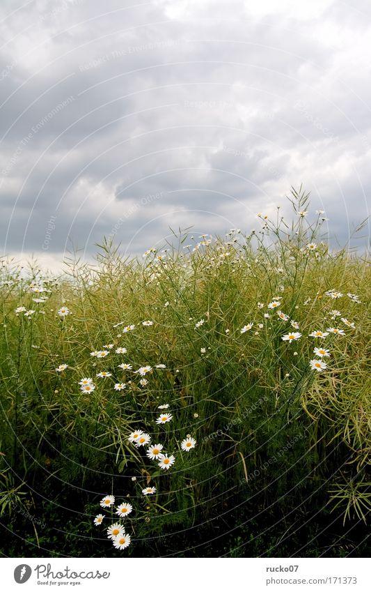 G-Blümchen Farbfoto Außenaufnahme Menschenleer Tag Pflanze Himmel Wolken Blume Gras Wildpflanze Feld gelb grau grün weiß Wachstum