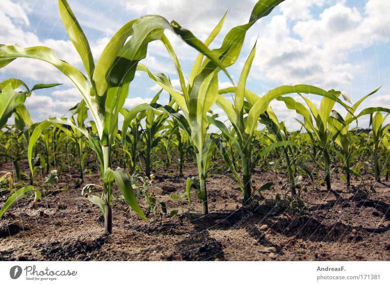Mais Farbfoto Außenaufnahme Blitzlichtaufnahme Sonnenlicht Froschperspektive Wissenschaften Energiewirtschaft Erneuerbare Energie Umwelt Natur Pflanze Erde Sand