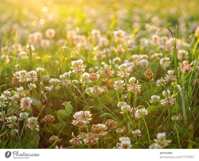 leuchtstoff Natur Landschaft Urelemente Sonne Sonnenlicht Sommer Schönes Wetter Gras Blatt Blüte Nutzpflanze Wiese Feld Duft hell schön Wärme Romantik Frieden