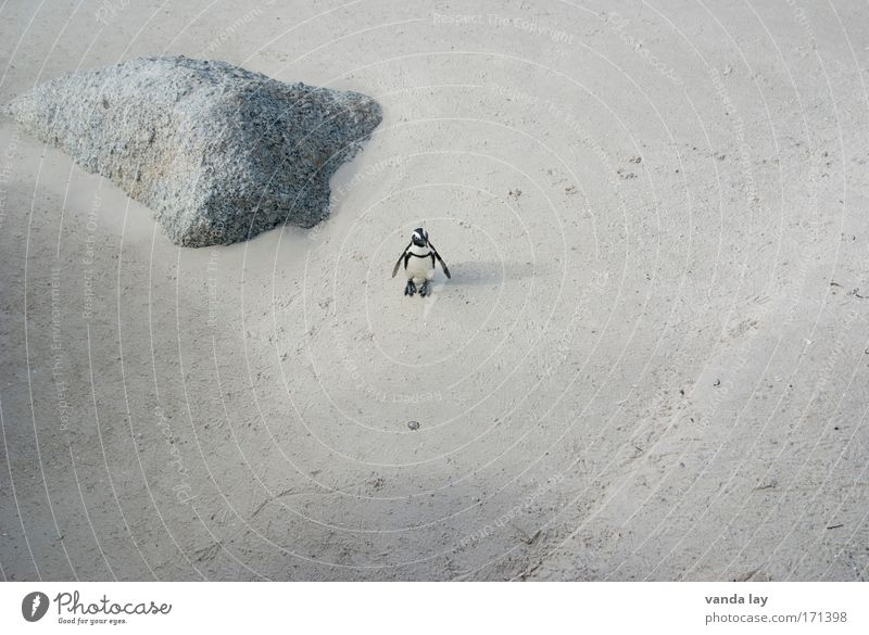 Bestellt und nicht abgeholt Strand Ferien & Urlaub & Reisen Tier Sand warten Umwelt Afrika Wildtier skurril kuschlig Umweltschutz Pinguin Südafrika Brillenpinguin Simon's Town