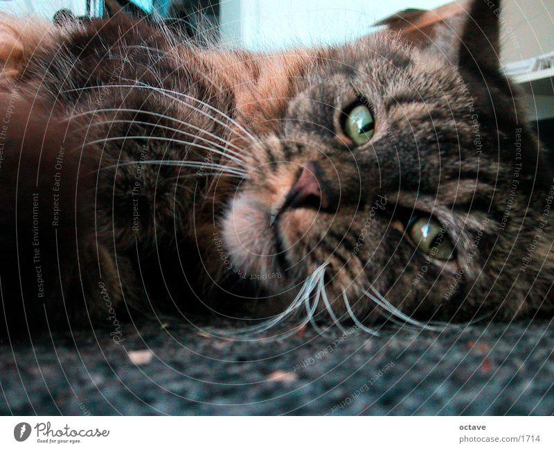 Kater Charly Katze Haustier Hauskatze