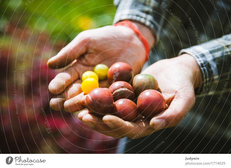 Ernte II - Die ersten eigenen Tomaten Mensch Natur Pflanze Sommer Gesunde Ernährung Hand Umwelt Leben natürlich Lifestyle Gesundheit Glück Lebensmittel
