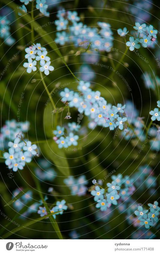 Vergissmeinnicht Natur schön Blume blau Pflanze ruhig Farbe Leben Erholung Gefühle Blüte Frühling Freiheit Glück träumen Traurigkeit