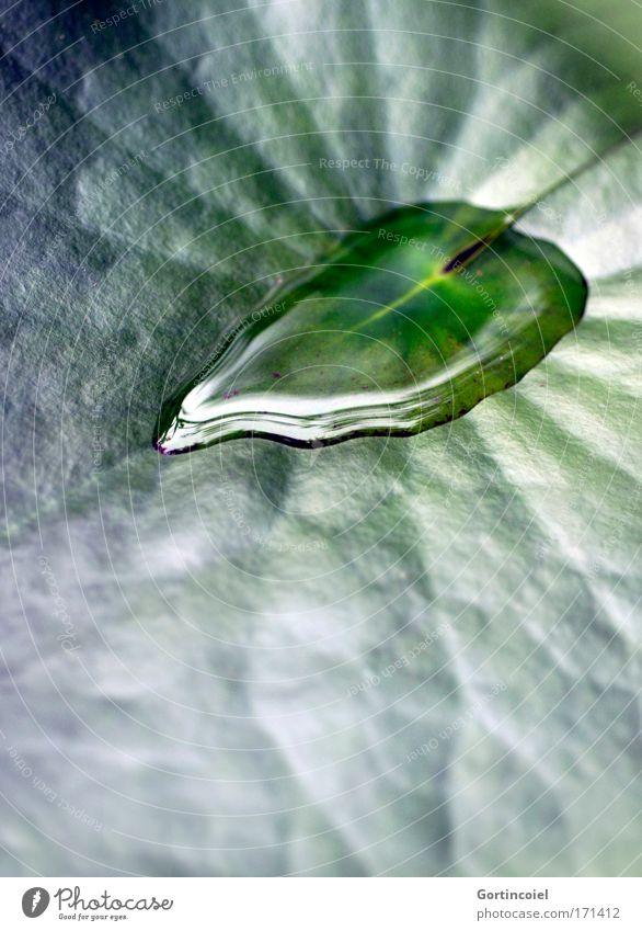Lotus Umwelt Natur Pflanze Wasser Wassertropfen Sommer Blatt Grünpflanze Seerosen Seerosenblatt Wasserpflanze Herz grün Pfütze schimmern glänzend fantastisch