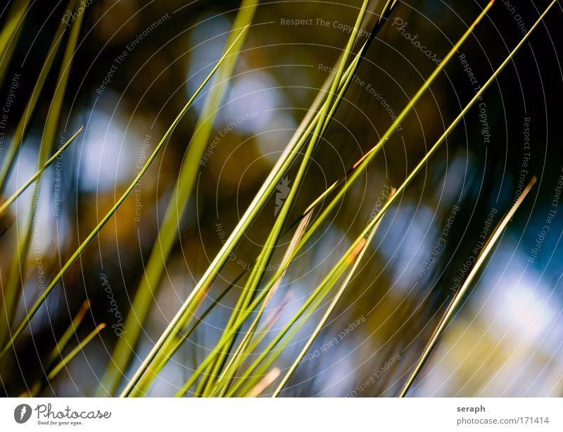 Binsen Spazierstock Schilfrohr biotope Gras blades of grass reed stem grün Grasland nature flora Wiese Pflanze Umwelt pflanzlich Hintergrundbild Wasserpflanze