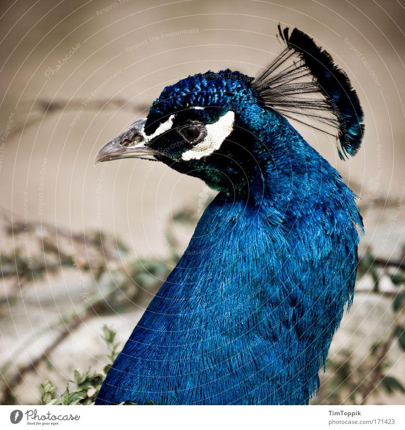 Vogel V schön Tier Traurigkeit ästhetisch Feder Tiergesicht Zoo Schnabel Stolz Krone Pfau Auge Tiergarten Pfauenfeder Vogelauge