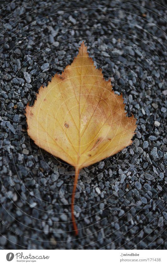 runtergefallen Natur alt Pflanze Blatt gelb Herbst grau Stein braun Wind gold liegen vergessen verrotten Birkenblätter