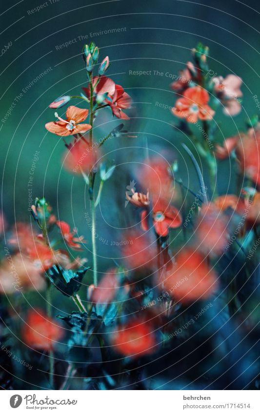 traurig sein Natur Pflanze Sommer Herbst Blume Gras Blatt Blüte Wildpflanze Veronica Garten Park Wiese Blühend Duft verblüht Wachstum dunkel schön klein