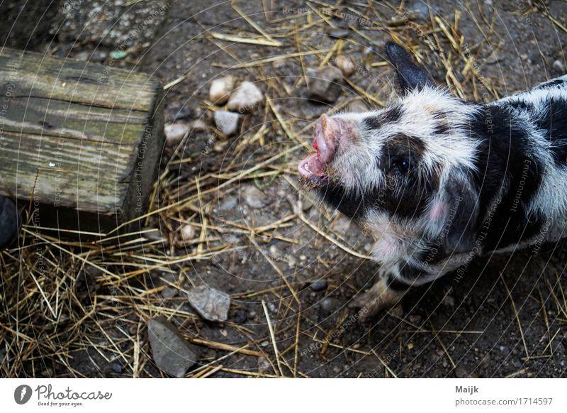 olaf Sommer Heu Tier Haustier Nutztier Tiergesicht Fell Schwein 1 Stein füttern gelb grau rosa schwarz weiß Stall friedlich Appetit & Hunger Farbfoto mehrfarbig