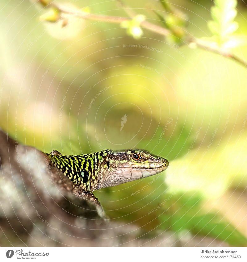 Blick riskiert Natur schön grün ruhig Tier kalt Umwelt gelb natürlich glänzend Wildtier sitzen warten ästhetisch Geschwindigkeit beobachten