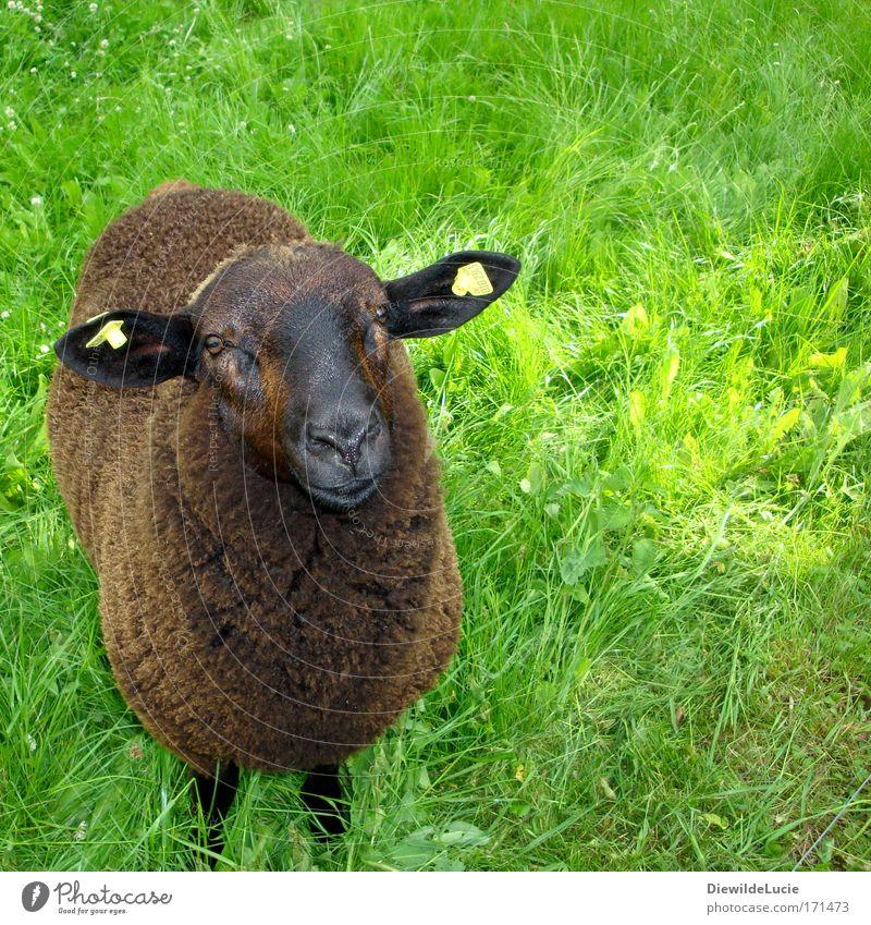 Ich bin das schwarze Schaf der Familie grün Wiese Glück Zufriedenheit braun weich beobachten Vertrauen Fell Neugier niedlich Freundlichkeit Erwartung harmonisch
