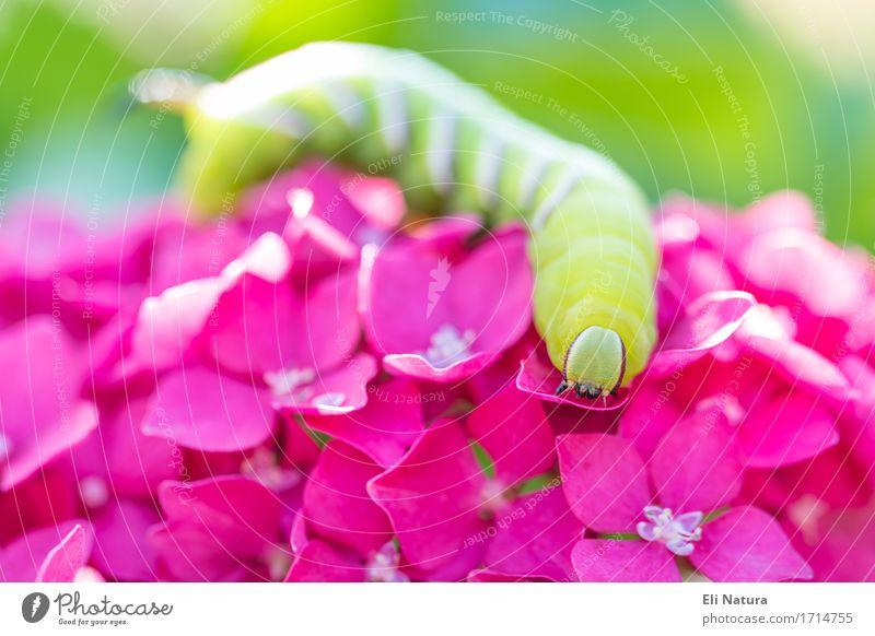 Auf der Blüte Natur Pflanze Blume Hortensie Hortensienblüte Garten Wiese Raupe 1 Tier elegant blau mehrfarbig gelb grün violett rosa weiß Frühlingsgefühle schön