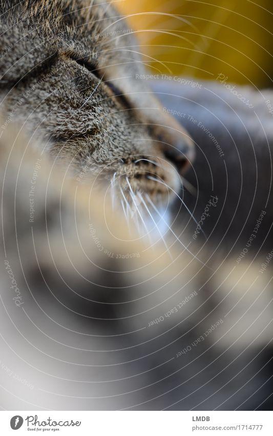 Lilly Löwe II Katze Erholung ruhig Tier gelb braun Zufriedenheit niedlich weich schlafen Pause Nase Gelassenheit Fell Haustier bewegungslos