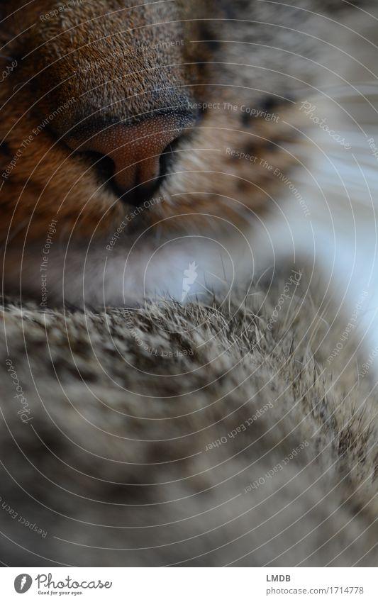 Lilly Löwe I Katze ruhig Tier braun Zufriedenheit Warmherzigkeit niedlich weich Nase Gelassenheit Fell Haustier Geborgenheit Hauskatze friedlich Schnauze