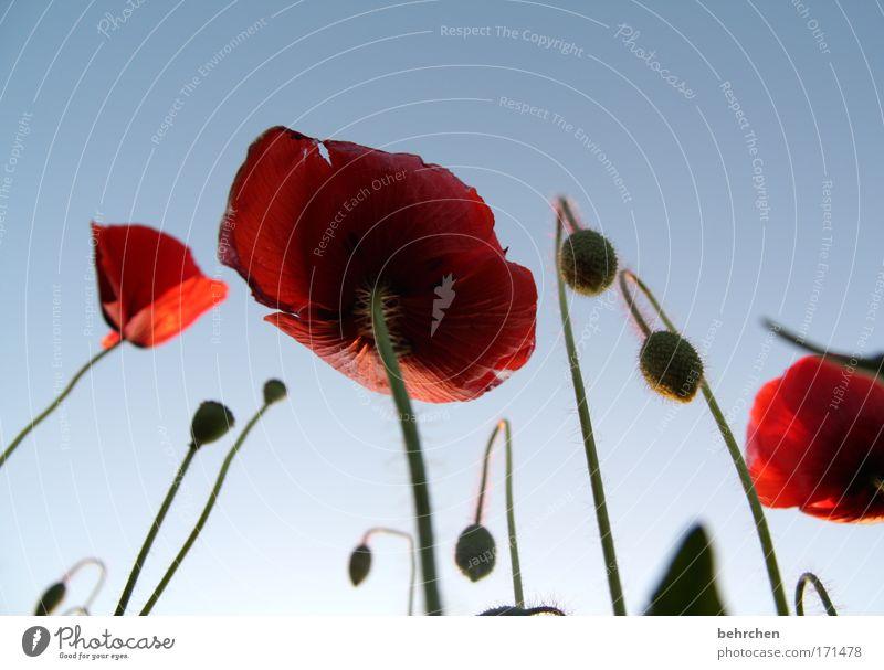 hoch gewachsen Natur schön Pflanze rot Sommer Blüte Feld Umwelt Wachstum Kitsch Stengel Landwirtschaft Mohn Schönes Wetter Froschperspektive