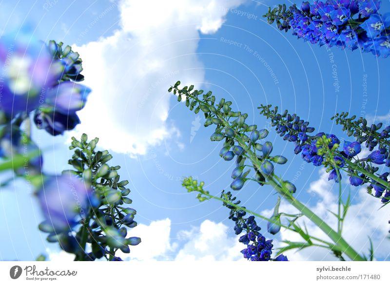 hoch hinaus II Umwelt Natur Pflanze Himmel Wolken Sommer Schönes Wetter Blume Blüte Blühend Wachstum Duft schön blau grün weiß emporragend Höhe Stengel