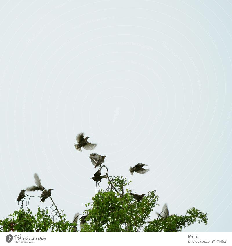 Abgehoben Umwelt Natur Tier Himmel Frühling Sommer Pflanze Baum Baumkrone Ast Birke Vogel Flügel Star Tiergruppe Schwarm Bewegung fliegen frei Zusammensein