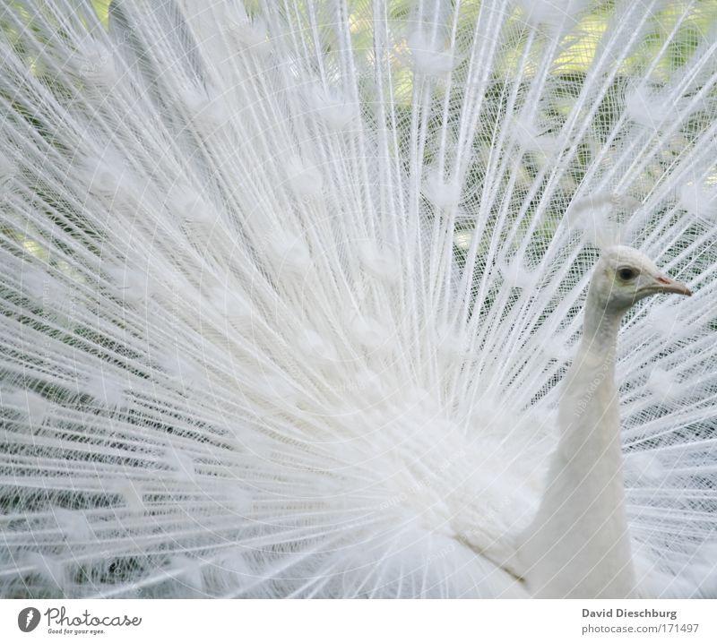 White man in action Natur weiß schön Tier Auge Vogel Wildtier Feder Flügel einzigartig Tiergesicht Zoo Momentaufnahme Schnabel Pfau Brunft