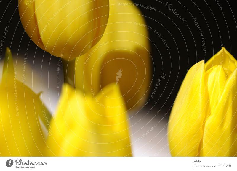 Tulpen Natur schön Pflanze ruhig schwarz gelb Farbe Erholung Gefühle Blüte Wohnung elegant ästhetisch Wachstum Romantik Dekoration & Verzierung