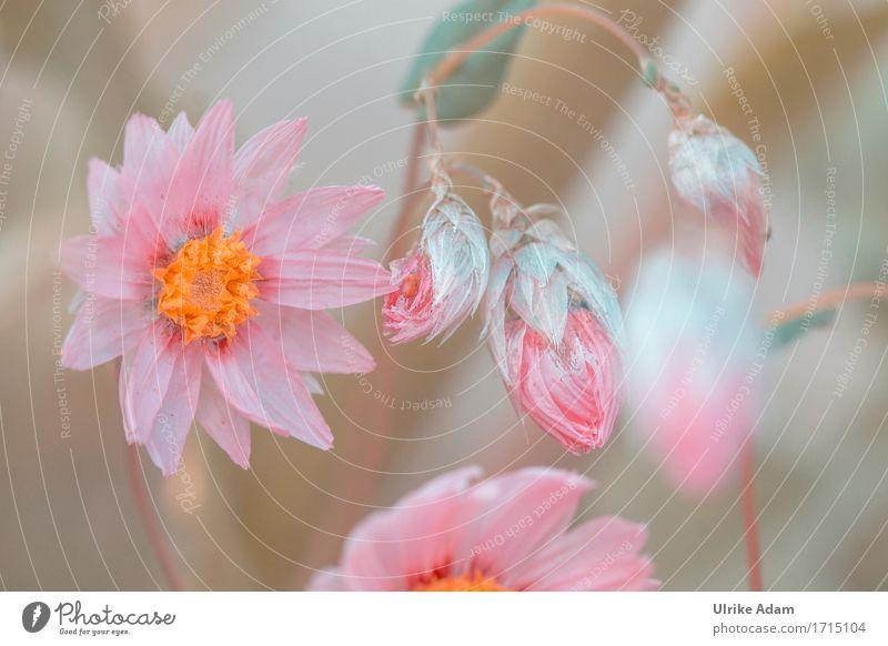 Strohblumen elegant Design ruhig Häusliches Leben Garten einrichten Innenarchitektur Dekoration & Verzierung Tapete Poster Bild Muttertag Natur Pflanze Sommer