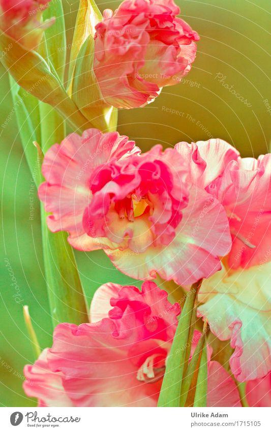 Gladiolen ( Gladiolus ) Natur Pflanze Sommer grün Blume Wärme Blüte Innenarchitektur Garten Design rosa Park Dekoration & Verzierung elegant Blühend Postkarte
