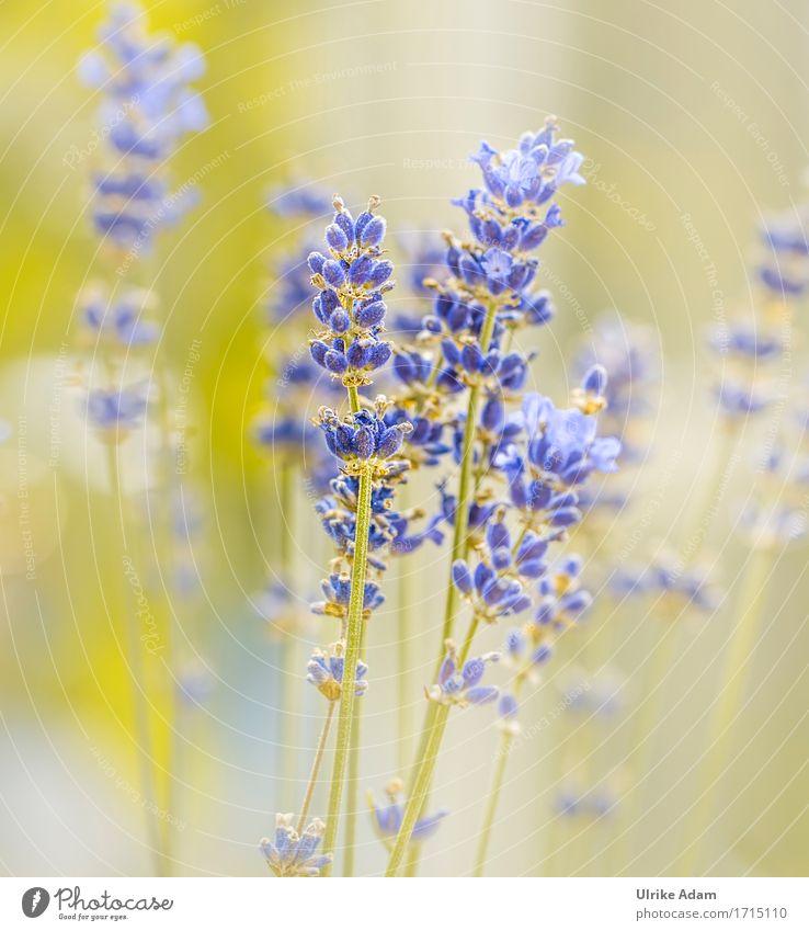 Lavendel Traum Umwelt Natur Pflanze Sommer Blume Blüte Nutzpflanze Topfpflanze Heilpflanzen Alternativmedizin Sedativum ätherische Öl ätherisches Öl