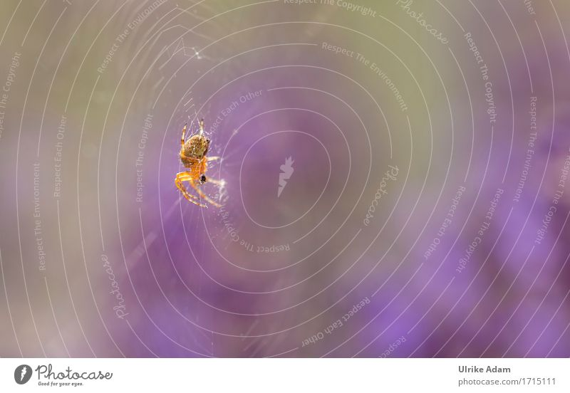 Spinne im Licht Natur Tier Sonnenlicht Sommer Schönes Wetter Garten Park Feld Wildtier Insekt Kreuzspinne 1 entdecken glänzend krabbeln authentisch gruselig